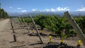 Nieuwe aanplant van malbec in San Pablo, Valle de Uco.